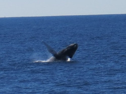 whale breaching Provincetown, MA