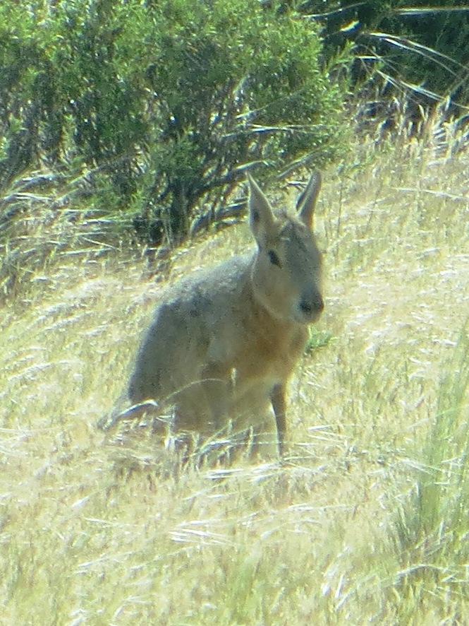 BA MM hare South America