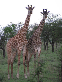 2008 Africa Tanzania safari giraffes
