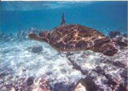 Hawaii Big Island 95 first turtle