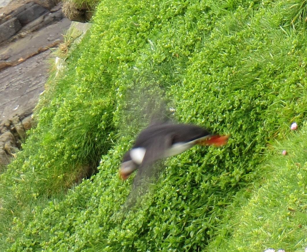 Shetland Islands, UK 6.29  Sumburgh Head puffin in flight