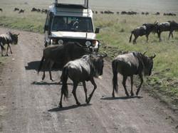 Africa Tanzania safari wildebeest