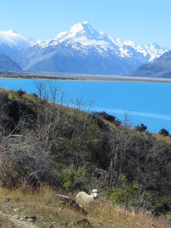 Mt Cook drive best sheep R 2017-01-05 005