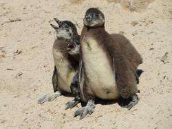 Boulders Beach penguins SA 2019 IMG_1978