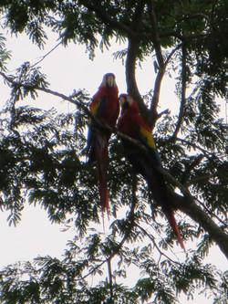 macaws Costa Rica 2012