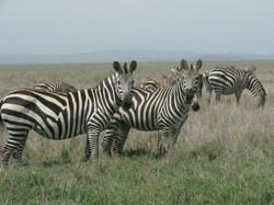 2008 Africa zebras safari Tanzania
