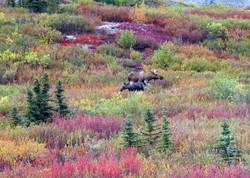 2004 Alaskan mooses Denali