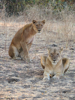2019 Africa Lion Camp Zambia lion hunt p