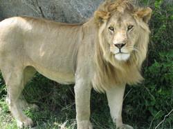 2008 Africa safari Tanzania lion