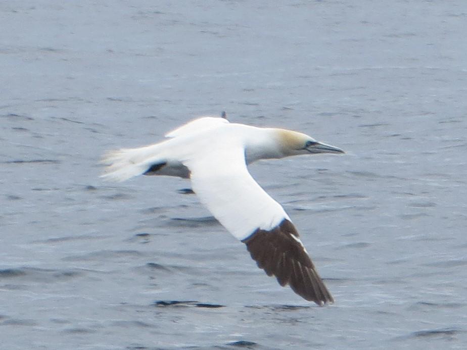 Little Skellig gannet in flight, Ireland's largest seabird best best IMG_0487