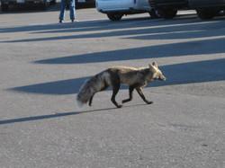 2008 fox at paradise Rainier