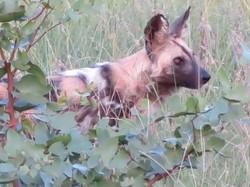 Makanyi wild dogs Timbavati SA 2019 IMG_