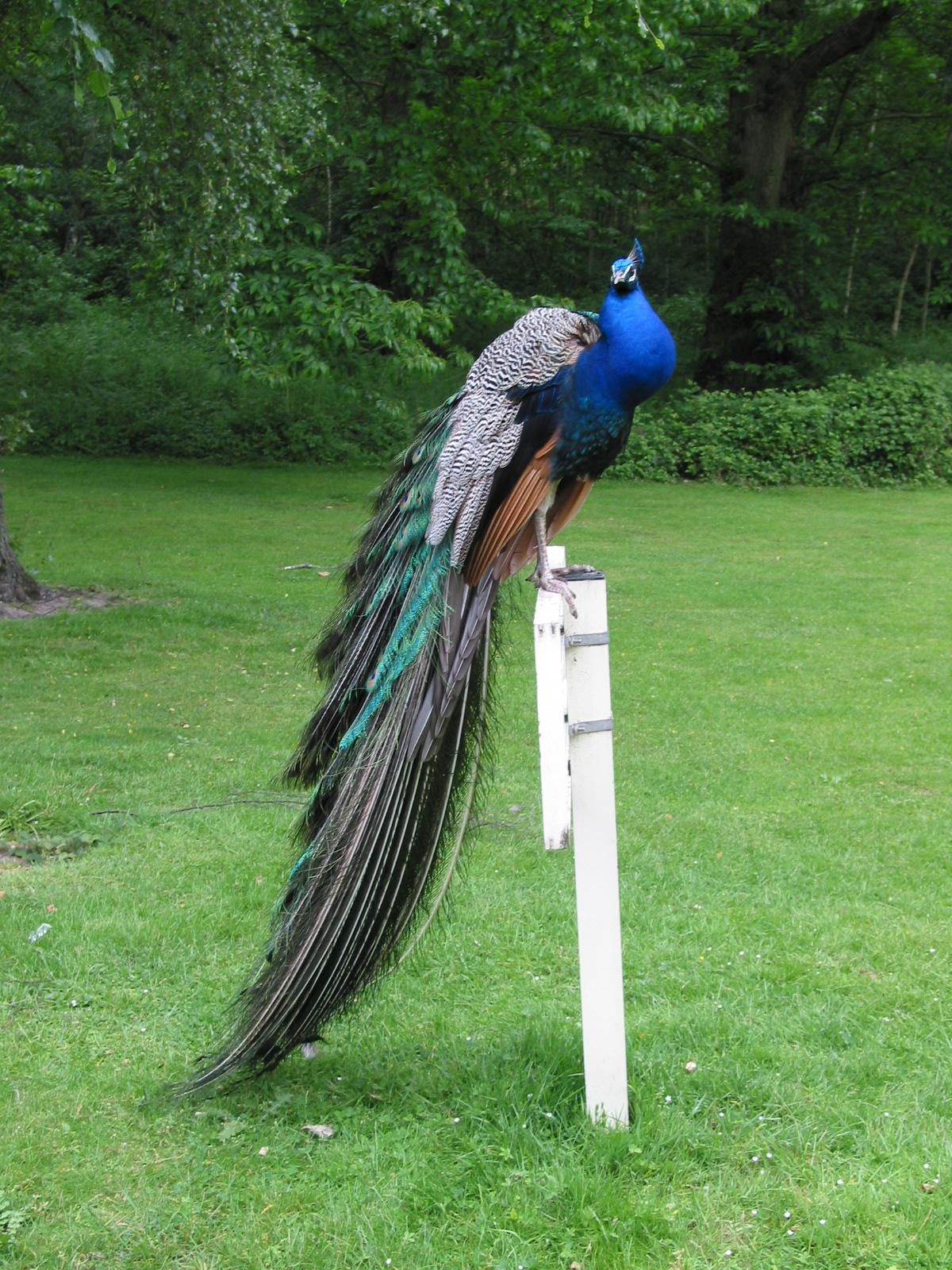 2005 England peacock