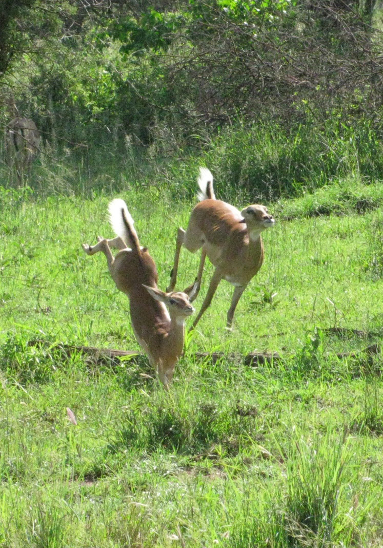 Africa springbok safari Tanzania