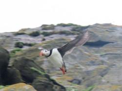 Skelling Michael puffin in flight best best 2017-07-08 095