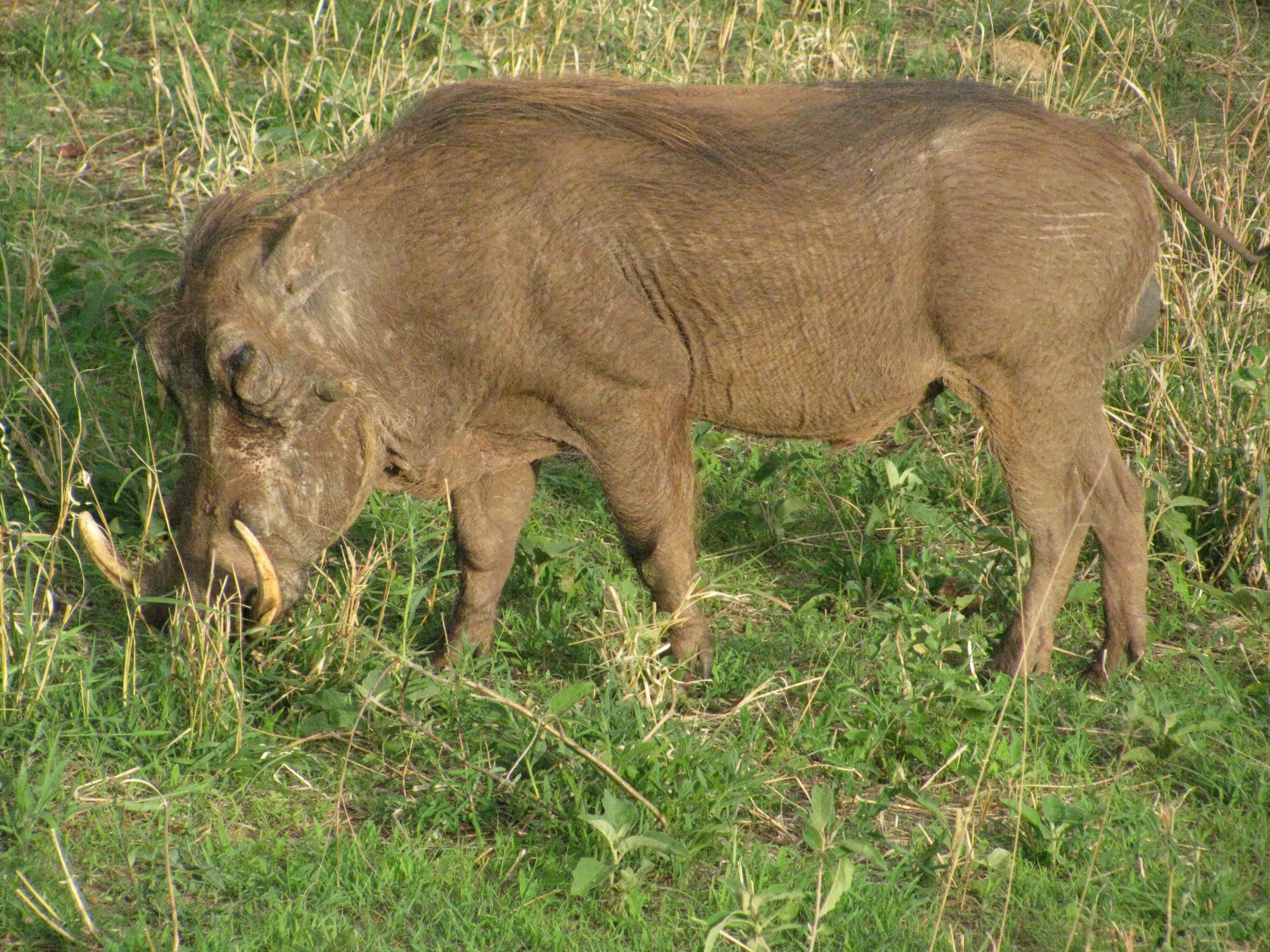 2008 Africa Tanzania safari warthog