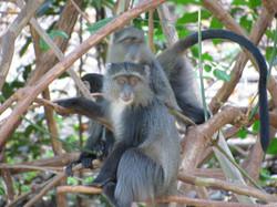 2008 Africa monkeys Tanzania safari