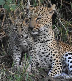 2019 Africa Lion Camp Zambia leopard cub