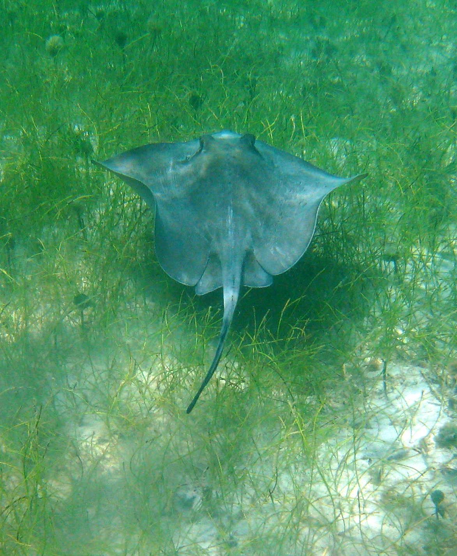 2010  Caribbean snorkel stingray