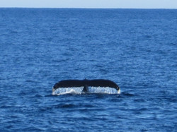Whale tale, Provincetown, MA