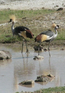 2008 Africa Tanzania safari cranes