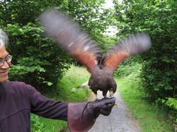 birds of prey hawk walk best series  2017-07-10 521