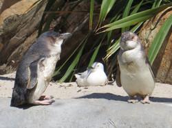 Napier aquarium penguin family best 2016-12-29 039