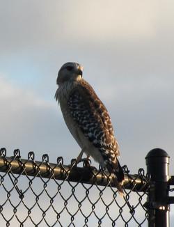 hawk at tennis 11.10 Estero
