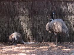 Sydney zoo kangaroo and emu 2016-12-10 165
