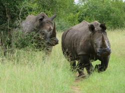 Makanyi best best rhinos charging Timbav