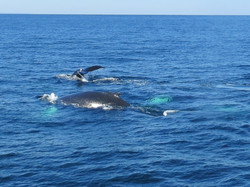 Whales, Provincetown, MA