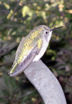 2009 Palm Springs 2009 hummingbird