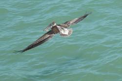 Naples beach pelican with snack