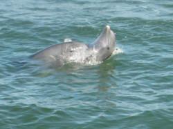Naples Pier dolphins 8.25.13 075