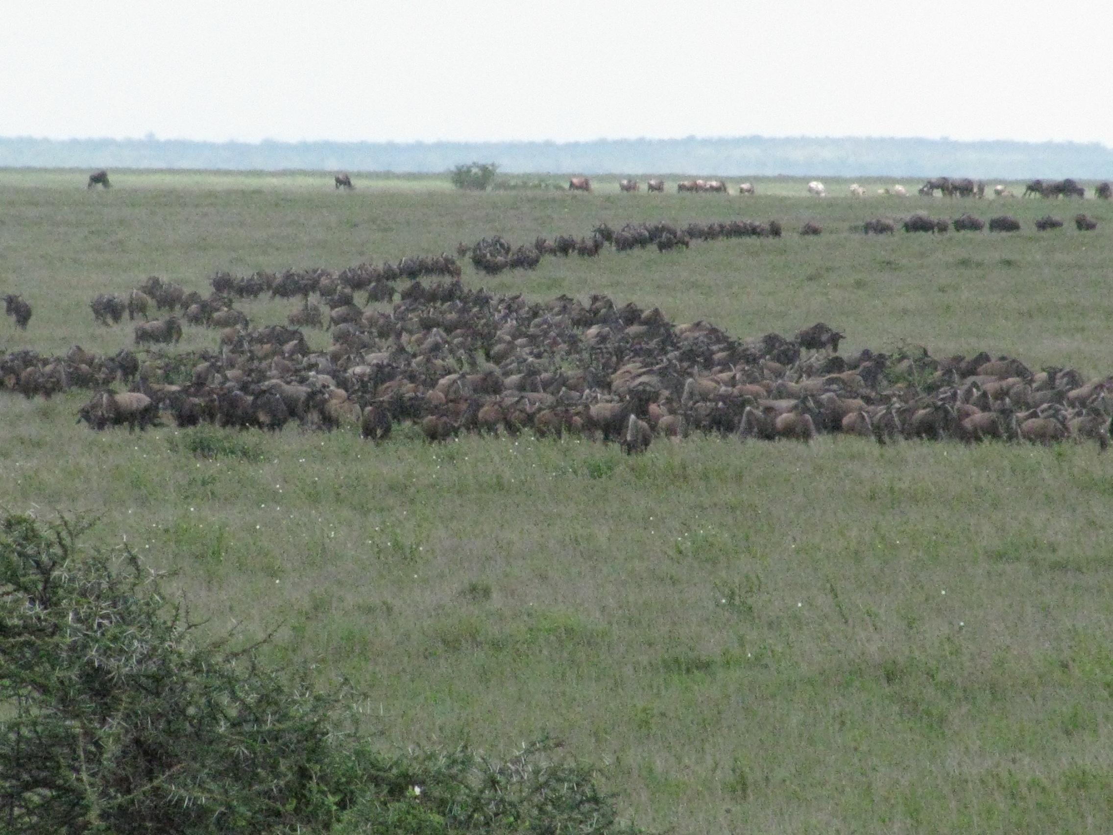 2008 Africa Tanzania wildebeest