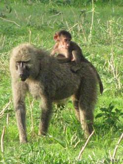 2008 Africa Baboon Tanzania safari