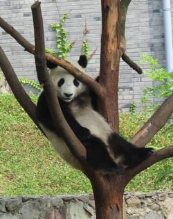 pandas big 2016-07-02 141