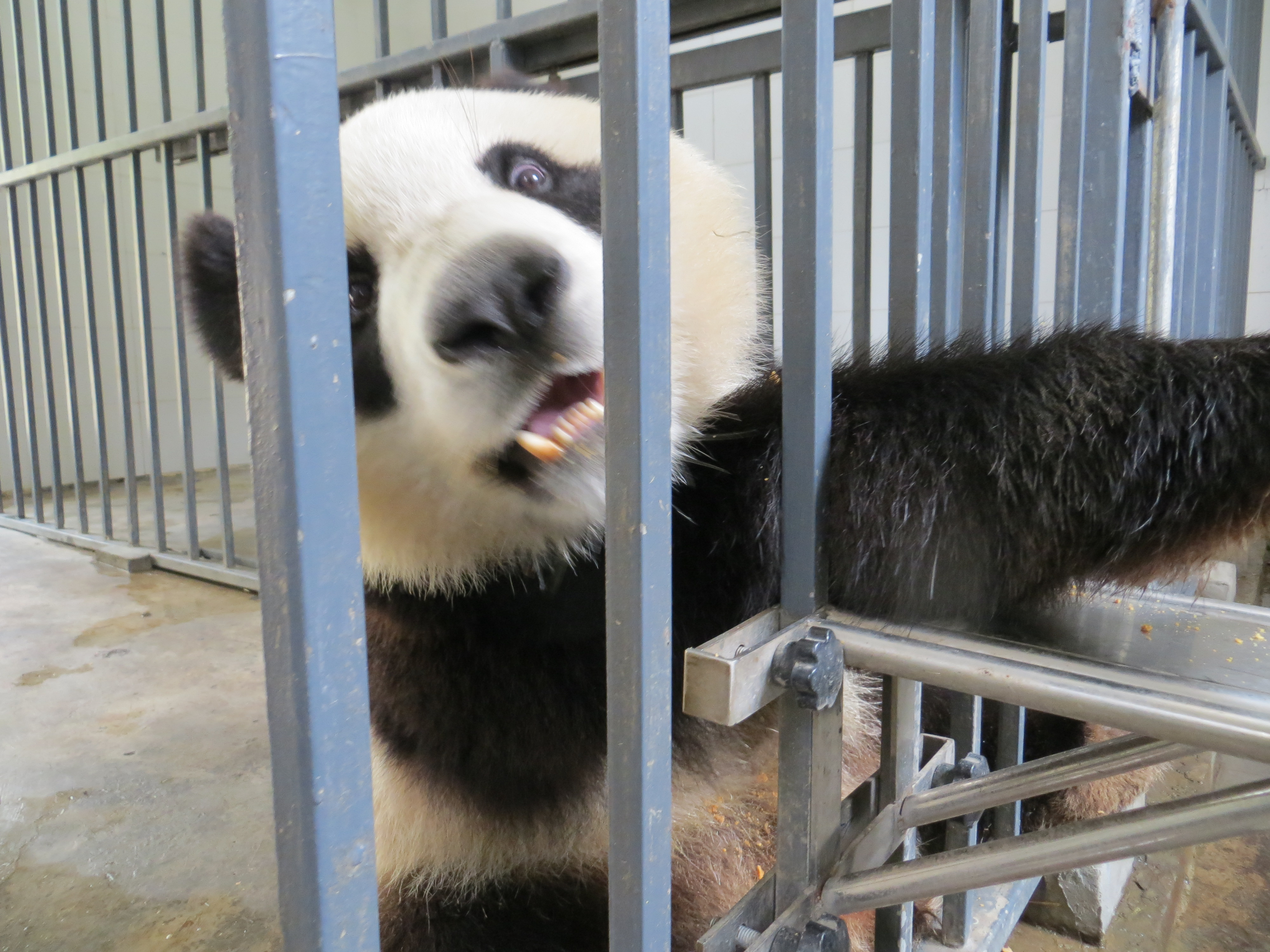 pandas WuWen gets impatient 2016-07-03 009