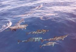Hawaii Kauai '08 Na Pali dolphins