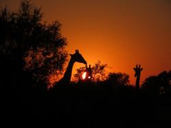 2019 Africa Splash Camp Botswana giraffe