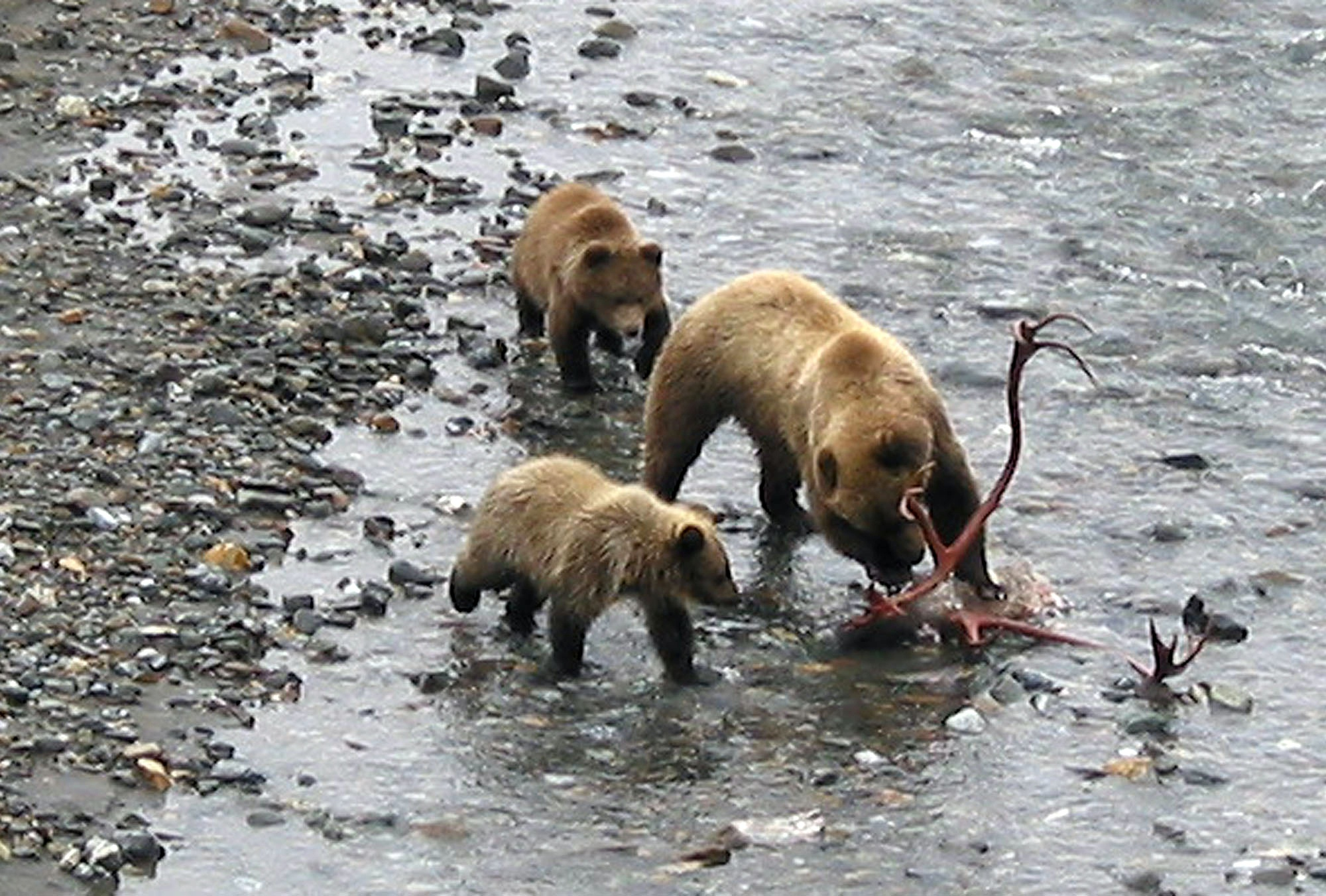2004 Alaska 04 bears Denali