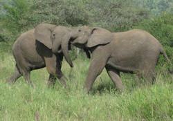 elephant Tanzania safari 2008