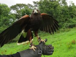 School of Falconry hawk walk Earrach best best 2017-07-11 232