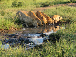 Makanyi lion pride best at waterhole Tim