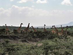 Giraffe valley