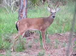2015 critter deer not bear 5.5.15 IMG_3113