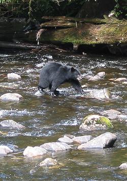 Alaska black bear in Traitors Cove