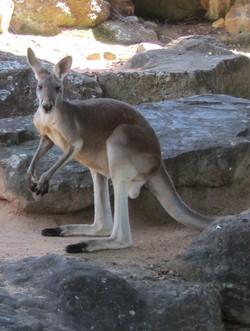 Sydney zoo best kangaroo 2016-12-10 129