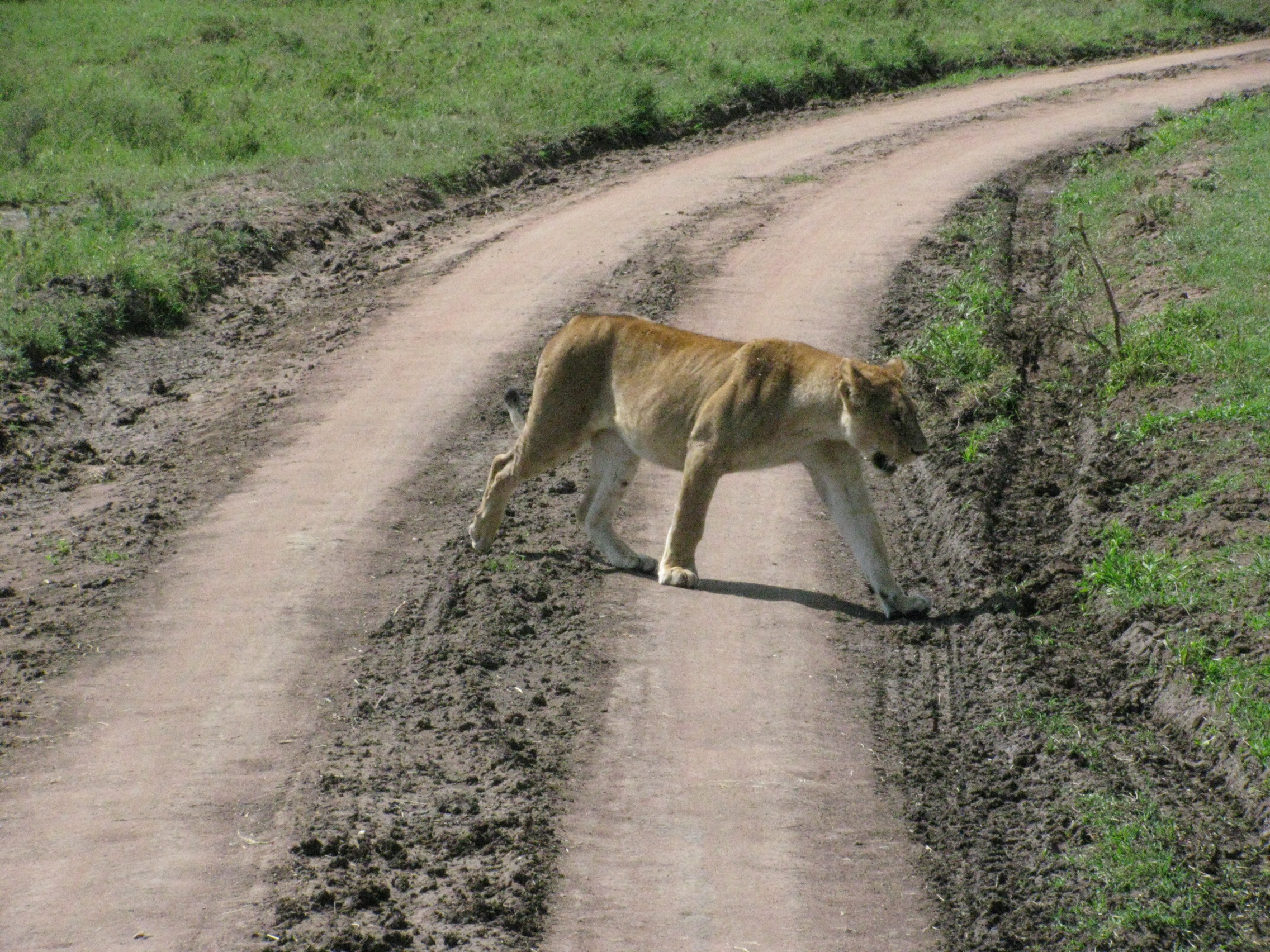 2008 Africa Tanzania lion safari