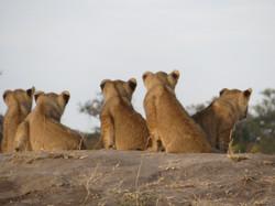 2019 Africa Somalisa Acacia lion cubs IM